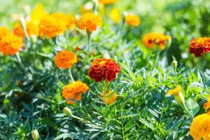 Marigold flowers growing in garden.