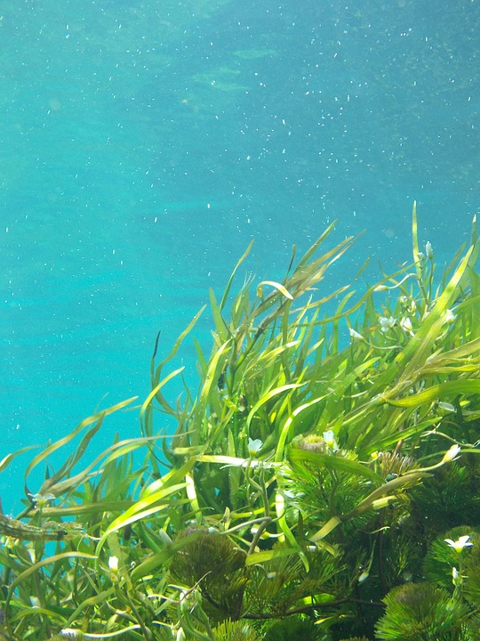 Seaweed to Combat Climate Change